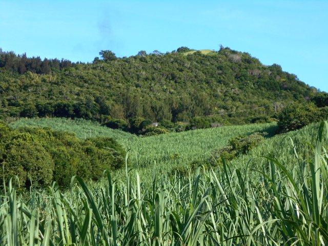 Champs de curcuma sur l'île de La Réunion