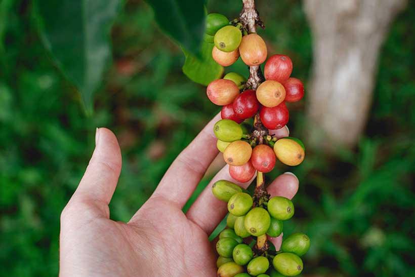 Récolte café bourbon pointu La Réunion