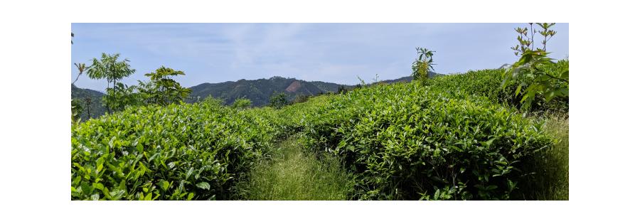 Tout savoir sur le Thé Français de La Réunion